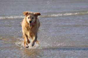 Golden Retriever am Strand Goulien